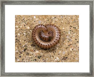 Millipede Cylindroiulus Punctatus Framed Print by Nigel Downer