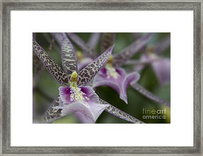 Miltassia Charles M Fitch 'izumi' - Orchid Izumi - You Are A Gem Framed Print by Sharon Mau