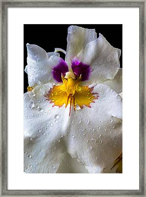 Miltonia White Orchid With Dew Framed Print by Garry Gay