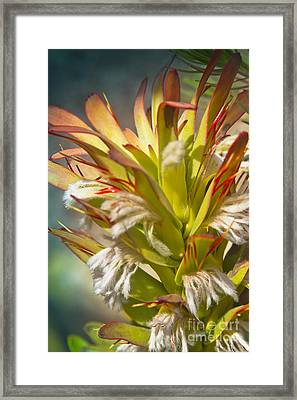Mimetes Cucullatus - Proteaceae - Rooistompie Framed Print by Sharon Mau