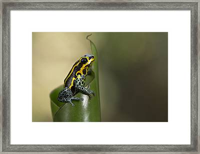 Mimic Poison Frog Amazon Peru Framed Print by Cyril Ruoso