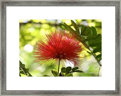 Mimosa Bloom Framed Print by Elisa Yinh