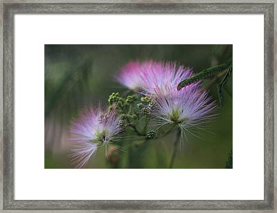Mimosa Blooms 2 Framed Print by Cathy Lindsey