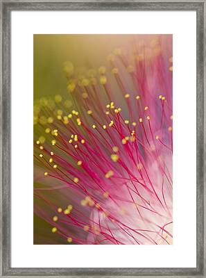Mimosa Blossom 3 Framed Print by Dan Wells