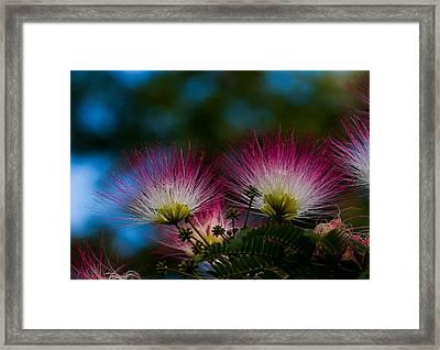 Mimosa Blossoms Framed Print by Haren Images- Kriss Haren