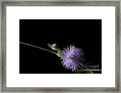 Mimosa Pudica Framed Print