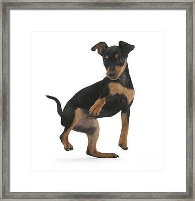Minature Pinscher Puppy Framed Print by Mark Taylor