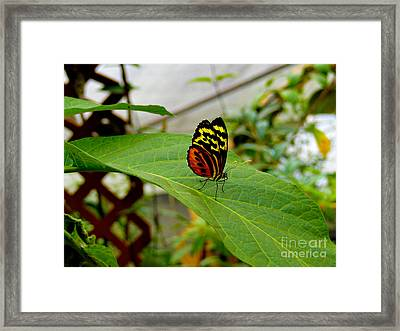 Mindo Butterfly Poses Framed Print by Al Bourassa