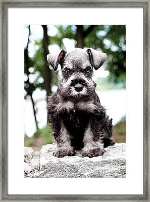 Mini Schnauzer Framed Print by Stephanie Frey