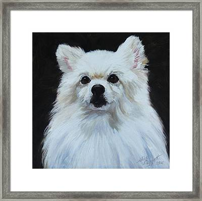 Miniature American Eskimo Dog Framed Print