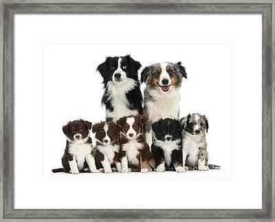 Miniature American Shepherd Dog Framed Print by Mark Taylor