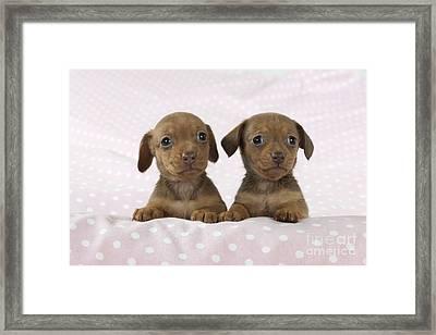 Miniature Dachshund Puppies Framed Print