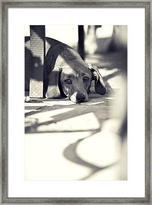 Miniature Dachshund  Framed Print by Samuel Whitton