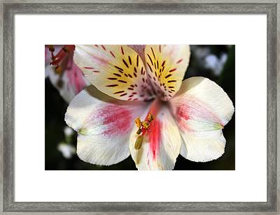 Framed Print featuring the photograph Miniature Oriental White Lily by Judy Palkimas