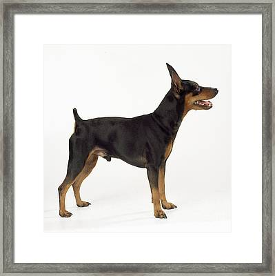 Miniature Pinscher Framed Print by John Daniels