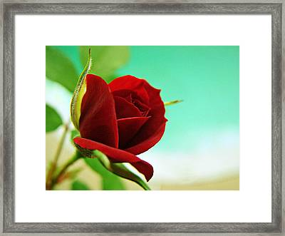 Miniature Rose Framed Print by Kathy Churchman