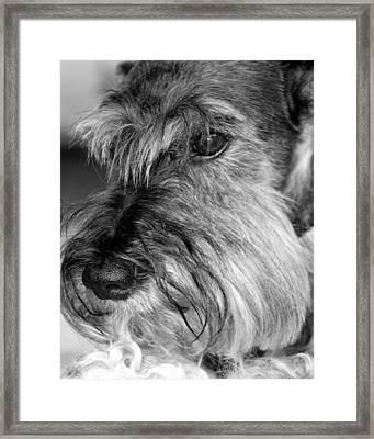 Miniature Schnauzer Portrait Framed Print by  Andrea Lazar