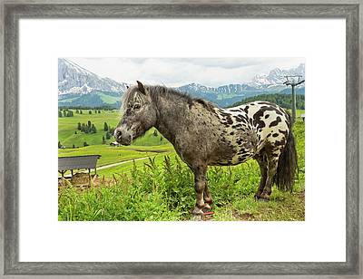 Miniature Spotted Pony Framed Print by Bob Gibbons