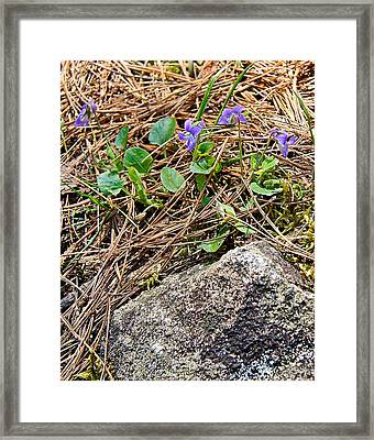 Miniature Wild Wood Violet - Dave's Falls - Amberg Wisconsin Framed Print by Carol Toepke
