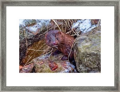 Mink Framed Print by Brian Stevens