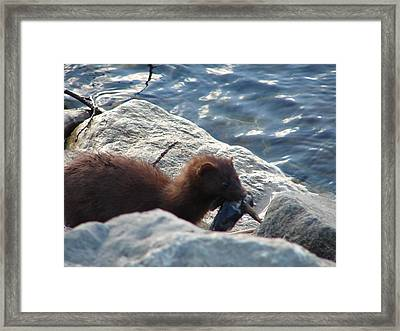 Mink With A Round Goby Framed Print