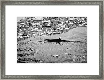 minke whale diving under brash ice the lemaire channel Antarctica Framed Print