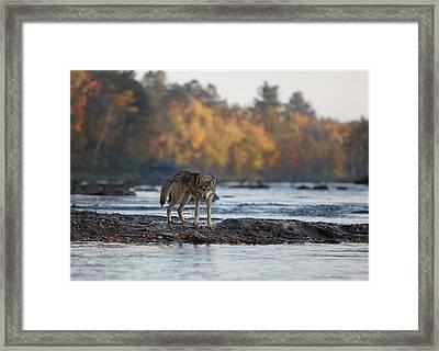 Minnesota Gray Wolf Framed Print