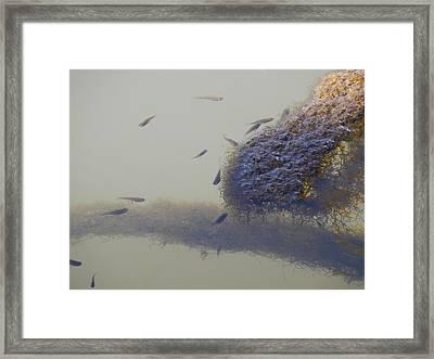 Minnows Feeding On Algae Framed Print by Terry Cobb