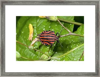 Minstrel Bug Framed Print by Bob Gibbons