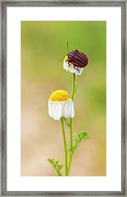 Minstrel Bug (graphosoma Lineatum) Framed Print by Photostock-israel