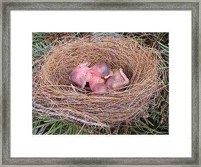 Framed Print featuring the photograph Miracle Of Birth _ Baby Robins by Margaret Newcomb
