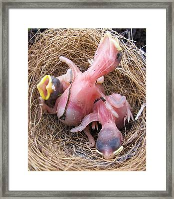 Framed Print featuring the photograph Miracle Of Birth_baby Robins 2 by Margaret Newcomb