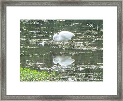 Mirror Image Of The Snowy Egret Framed Print by Debbie Nester