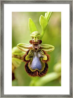 Mirror Orchid (ophrys Speculum) Flower Framed Print by Bob Gibbons