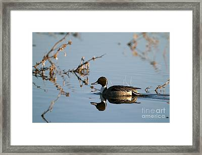 Northern Pintail Mirror Image Framed Print