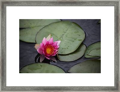 Miss Lilly Framed Print by Dervent Wiltshire