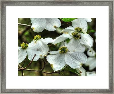Framed Print featuring the photograph Mississippi Dogwood II by Lanita Williams