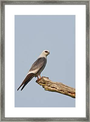 Mississippi Kite (ictinia Framed Print by Larry Ditto