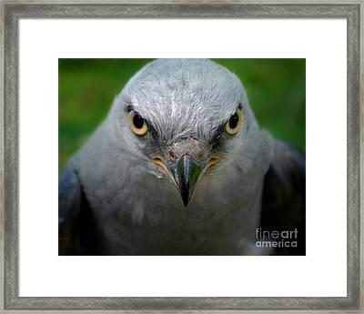 Mississippi Kite Stare Framed Print