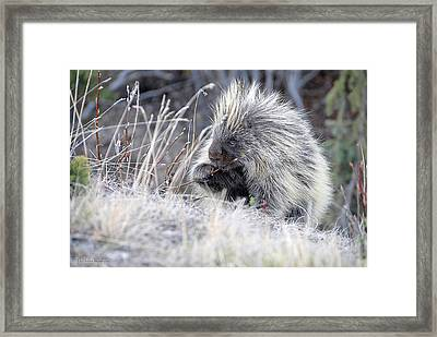 Framed Print featuring the photograph Mister Porcupine - Denali Alaska by Dyle   Warren