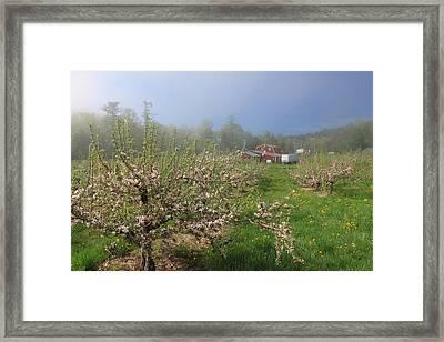 Misty Apple Blossoms Framed Print by John Burk