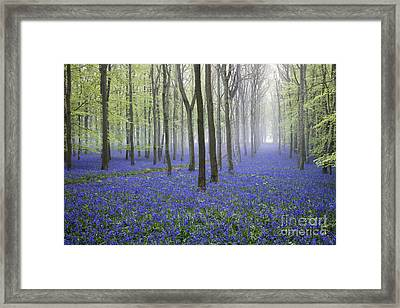 Misty Dawn Bluebell Wood Framed Print