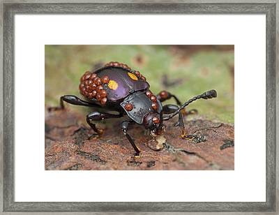 Mites On Fungus Beetle Framed Print by Melvyn Yeo/science Photo Library