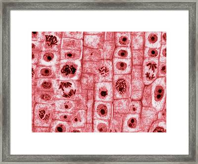 Mitosis Framed Print
