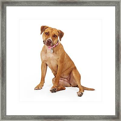Mixed Breed Female Large Dog Framed Print by Susan Schmitz