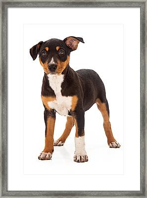 Mixed Breed Puppy Ear Up Framed Print by Susan Schmitz