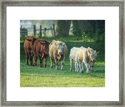 Mixed Cattle Coming For Water, Florida Framed Print by Maresa Pryor