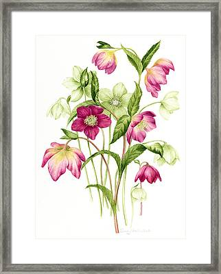 Mixed Hellebores Framed Print by Sally Crosthwaite