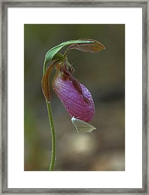 Moccasin Flower  Framed Print