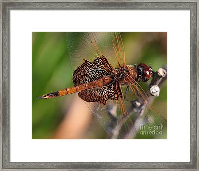 Mocha And Cream Dragonfly Profile Framed Print by Kenny Glotfelty
